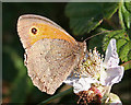 SZ0281 : Meadow Brown Butterfly (Maniola  jurtina) by Anne Burgess