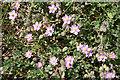 SY8279 : Spurrey (Spergularia sp) by Anne Burgess