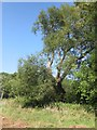 ST6565 : A large old willow tree growing on the South bank of the River Chew by Dr Duncan Pepper