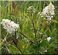 SY6972 : Wild Privet (Ligustrum vulgare) by Anne Burgess
