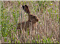 TG0544 : Wary hare by Pauline E