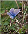 TF7144 : Male Common blue butterfly by Pauline E