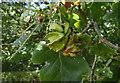 SK5635 : Oak Knopper Gall by Alan Murray-Rust