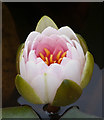 TG0441 : Water lily - opening bud by Pauline E