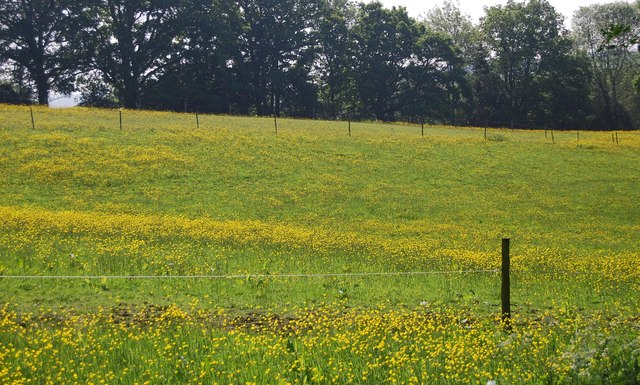 Buttercup meadow, Cornford Lane