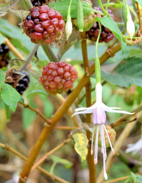Blackberries and fuchsia, Helen's Bay (September 2014)