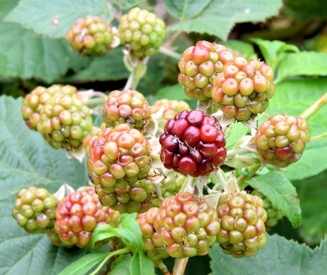 Blackberries, Helen's Bay - September 2014(4)