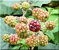 J4582 : Blackberries, Helen's Bay - September 2014(4) by Albert Bridge