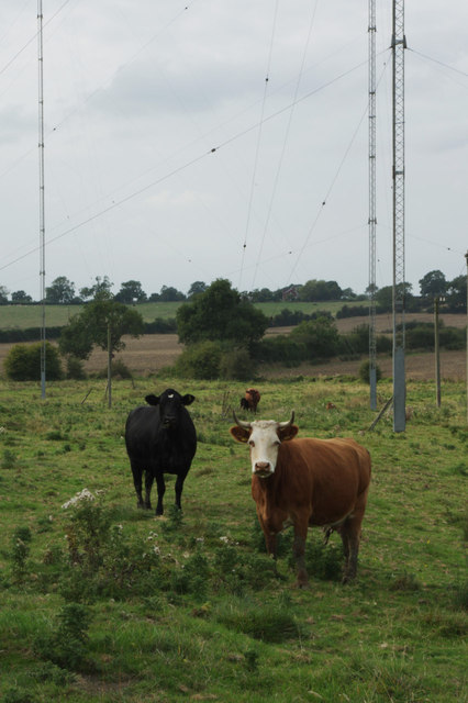 Cows - Rugby Radio Station