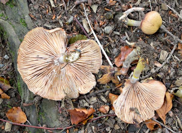 Fungi, Killynether Wood, Newtownards - September 2014(1)