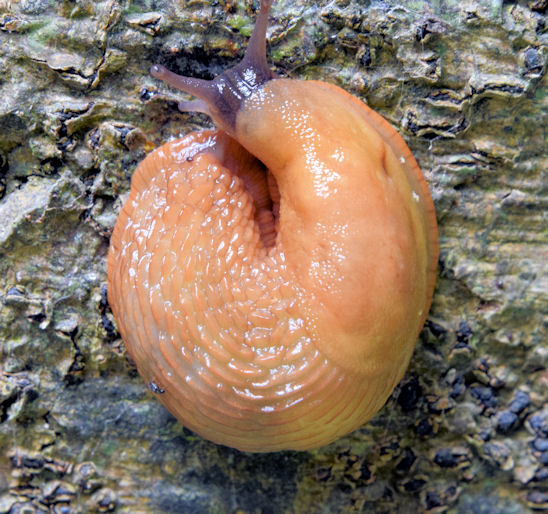 Slug, Killynether Wood, Newtownards - September 2014(1)