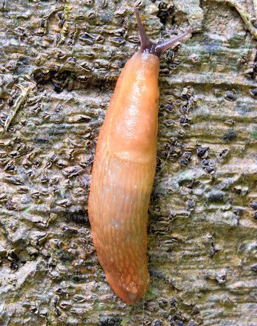 Slug, Killynether Wood, Newtownards - September 2014(2)