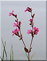 NJ8065 : Red Campion (Silene dioica) by Walter Baxter