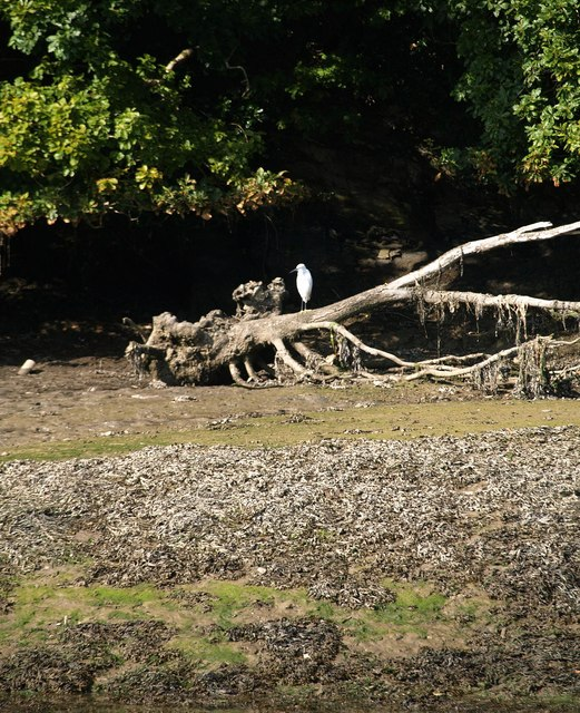 Egret, West Looe River