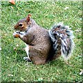 SK5639 : Squirrel at Nottingham Castle by Gerald England