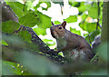 SE7170 : Well-fed Grey squirrel by Pauline E