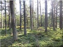 NH9317 : Pine forest near Boat of Garten by Richard Webb