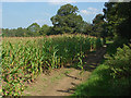 SU9646 : Maize crop near Binscombe by Alan Hunt