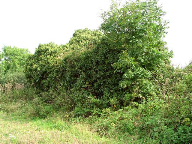 Field boundary hedge