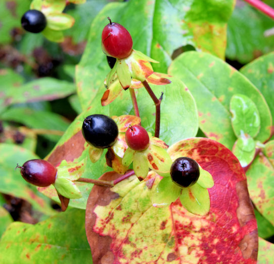 Autumn tutsan berries and leaves, Crawfordsburn (September 2014)