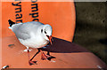 J3474 : Black-headed gull, River Lagan, Belfast (September 2014) by Albert Bridge