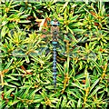 SO5534 : Dragonfly, Holme Lacy, Herefordshire by Brian Robert Marshall