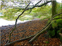H5776 : Fallen leaves at Loughmacrory Lough by Kenneth  Allen