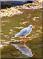 J3269 : Black-headed gull, River Lagan near Shaw's Bridge, Belfast (October 2014) by Albert Bridge