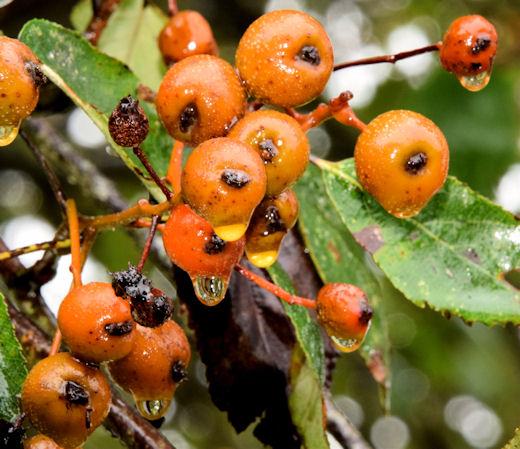 Whitebeam berries, Scrabo, Newtownards (October 2014)