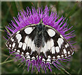 SY6788 : Marbled White Butterfly (Melanargia galathea) by Anne Burgess