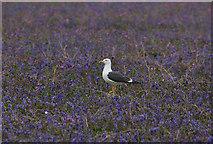 SM7210 : Lesser Black-backed Gull in the bluebells by Hugh Venables