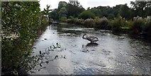 SP1106 : River Coln by Roger Gittins