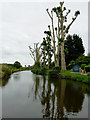 SJ9422 : Pollarded canalside poplar trees east of Stafford by Roger  Kidd