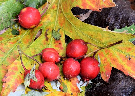 Red berries, Belmont Park, Belfast (October 2014)