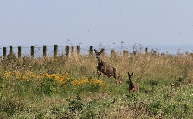 Roe deer on the run