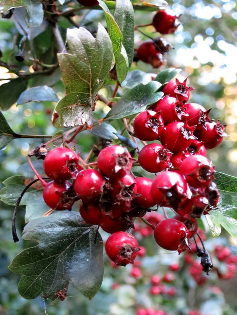 Hawthorn, Maytree or Whitehorn