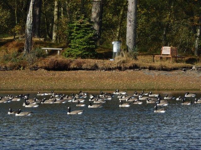 Canada Geese on Carman Reservoir