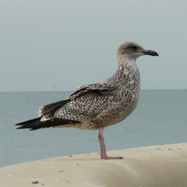 Juvenile Gull at Cleveleys