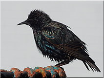 SZ1891 : Mudeford: a starling on a lobsterpot by Chris Downer