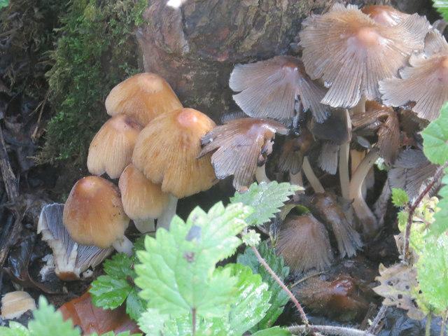 Ink Cap Fungi at College Lake