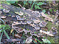 SP9314 : Turkey Tail Fungus on rotten log at College Lake by Chris Reynolds