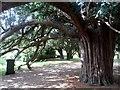 SU8276 : Yew tree, St Lawrence's churchyard by Bikeboy
