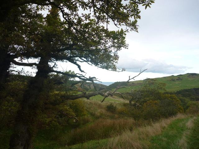 Berwickshire Landscape : Oaks Beside A Branch Of The Dowlaw Burn