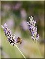 NT2475 : Bee and lavender, Edinburgh Botanic Garden by Paul Harrop