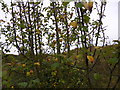 TF0317 : Malus sylvestris by Bob Harvey