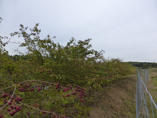 Hawthorn barrier