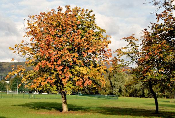 Autumn Chestnut Tree Musgrave Park 169 Albert Bridge