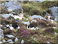 T0796 : Wild goats in Glenealo by Oliver Dixon