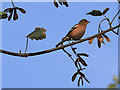 NZ8513 : Male Chaffinch on sycamore by Pauline E