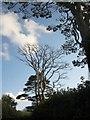 SX8058 : Trees above the lane to Ashprington by Derek Harper